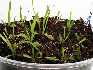 армерия выращивание из семян