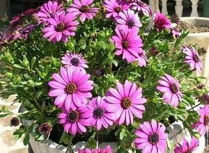 цветы диморфотека посадка и уход фото