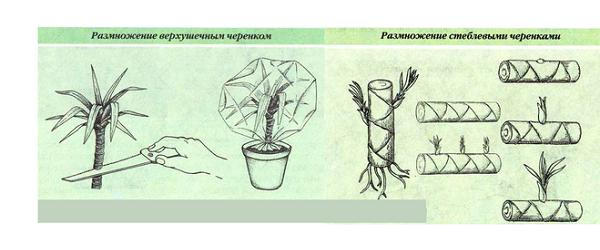 драцена размножение в домашних условиях