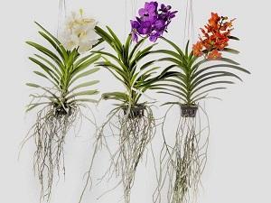 орхидея ванда уход в домашних условиях