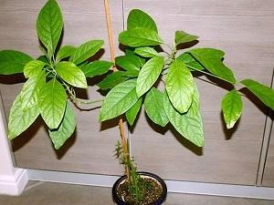 авокадо вырастить дома из косточки
