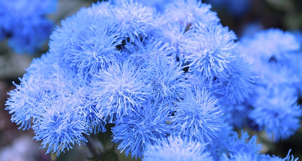 агератум голубая норка