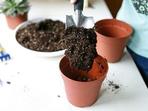 фуксия выращивание