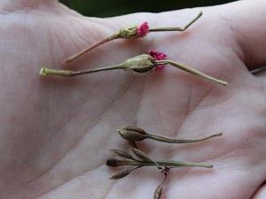 герань семена
