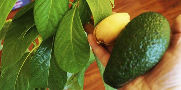 как сажать авокадо из косточки