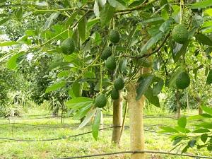 как посадить авокадо из косточки в домашних