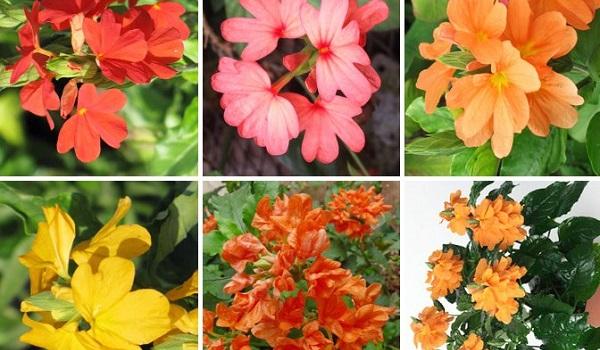 цветок кроссандра фото