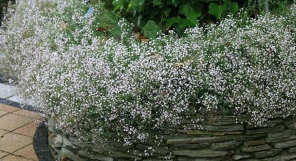 гипсофилы цветы фото