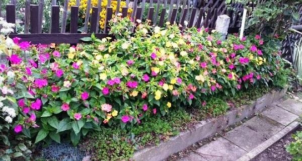 мирабилис фото цветов
