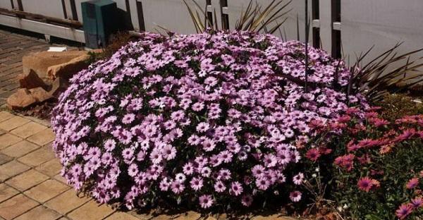 цветок диморфотека фото