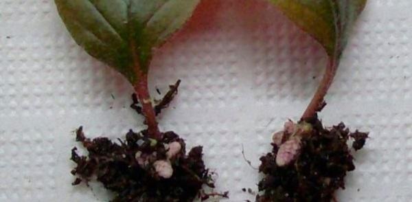семена фуксии купить