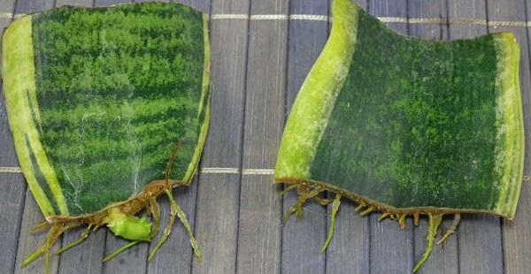 сансевиерия размножение листом