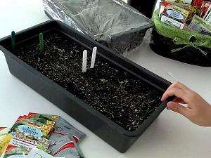 астра посев семян на рассаду
