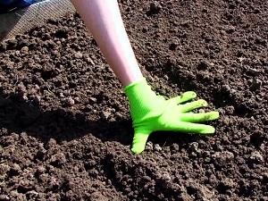 посев агератума на рассаду