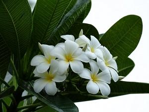 плюмерия цветение
