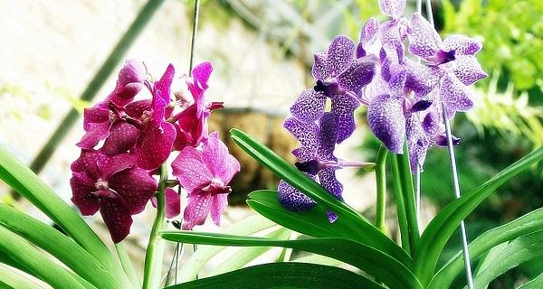 орхидея ванда уход
