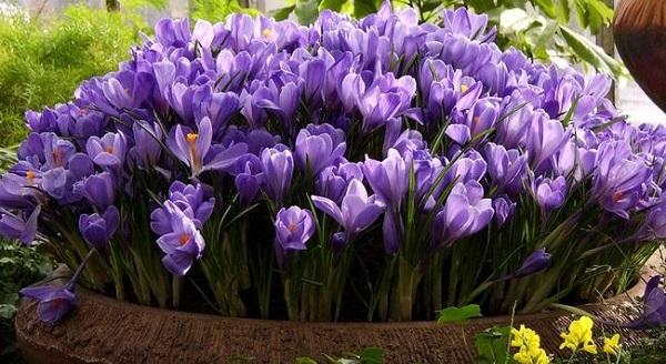 цветы крокусы фото посадка и уход