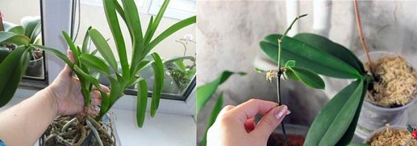 орхидей Ванда размножение