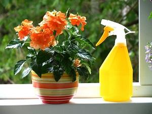 кроссандра уход и выращивание в домашних условиях