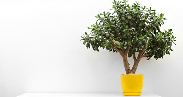 денежное дерево как за ним ухаживать