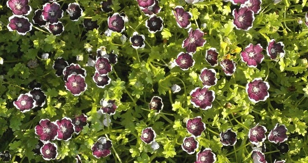 немофила выращивание