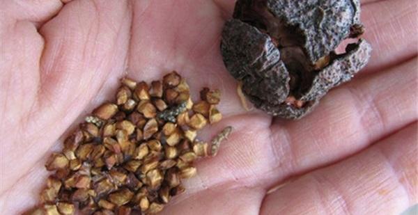 кипарис из семян