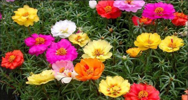 портулак фото цветов