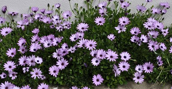 цветок остеоспермум фото посадка и уход
