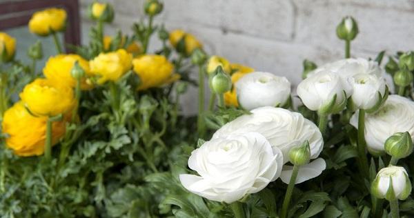 цветок ранункулюс посадка и уход фото