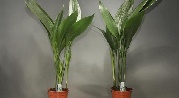 аспидистра высокая комнатные растения