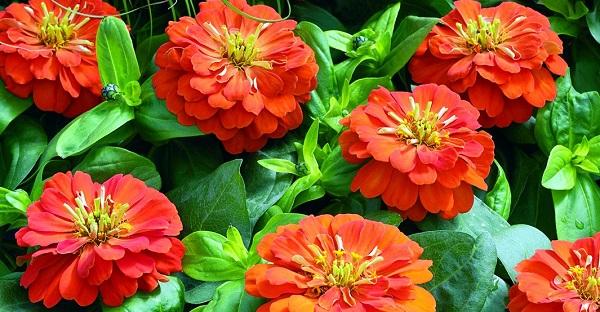 цветы циния фото посадка и уход