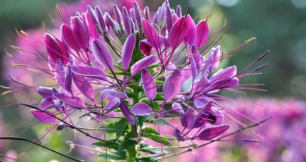 клеома цветок фото