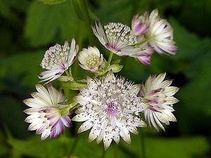 цветок астранция фото и описание