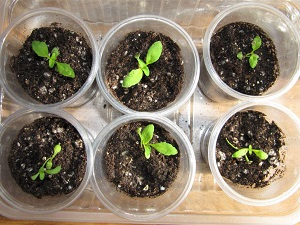 немезия выращивание из семян когда сажать