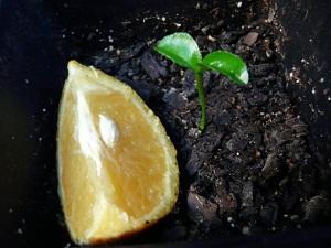 как прорастить косточку апельсина