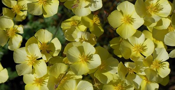 эшшольция фото цветов