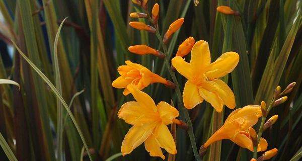 цветок крокосмия