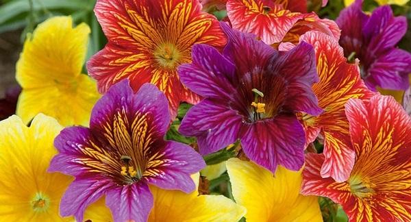сальпиглоссис цветок