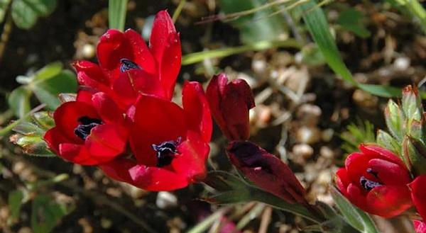 бабиана травянистые растения для открытого грунта
