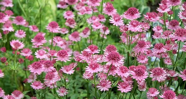 цветок астранция