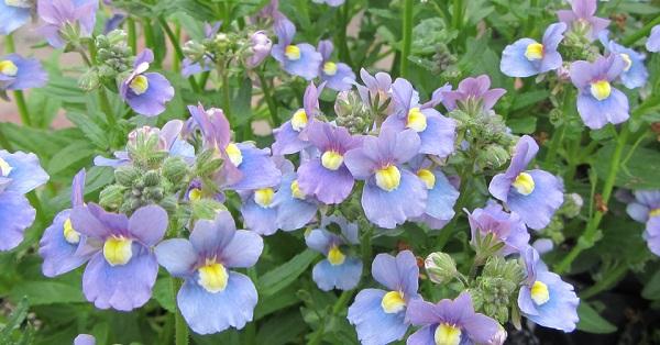 немезия фото цветов