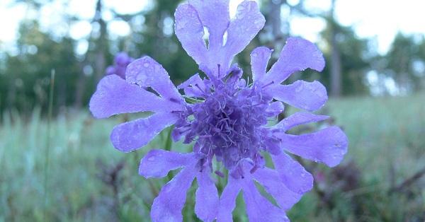 скабиоза фото цветов