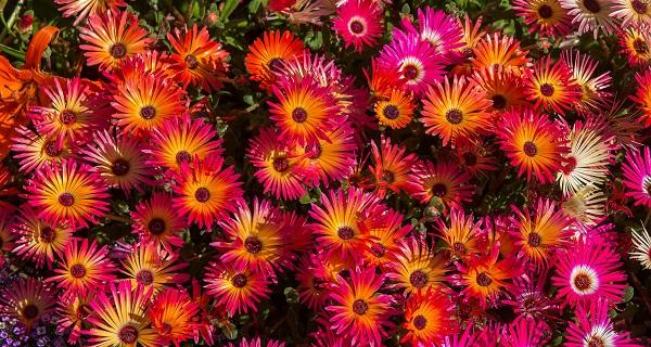 цветы мезембриантемум посадка и уход фото