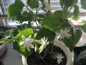 цветок жасмин фото комнатный