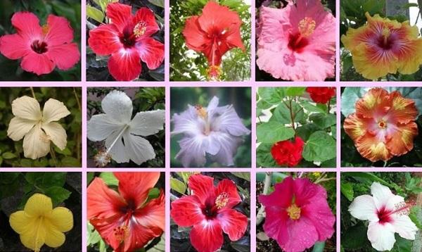 гибискус цветок фото