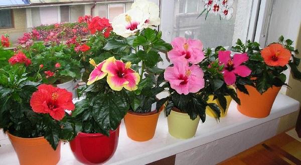комнатное растение гибискус