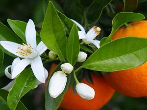 росток апельсина из косточки фото