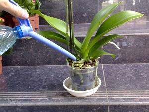 орхидея камбрия уход в домашних