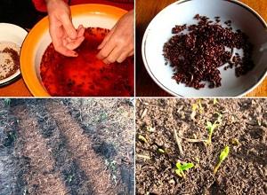 барбарис из семян