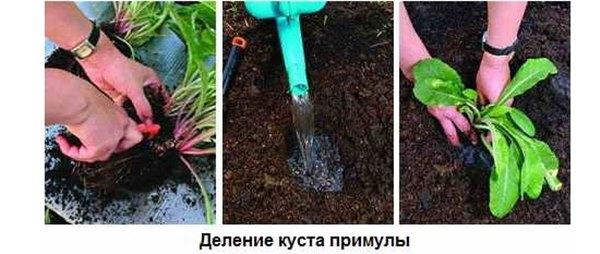 домашний цветок примула